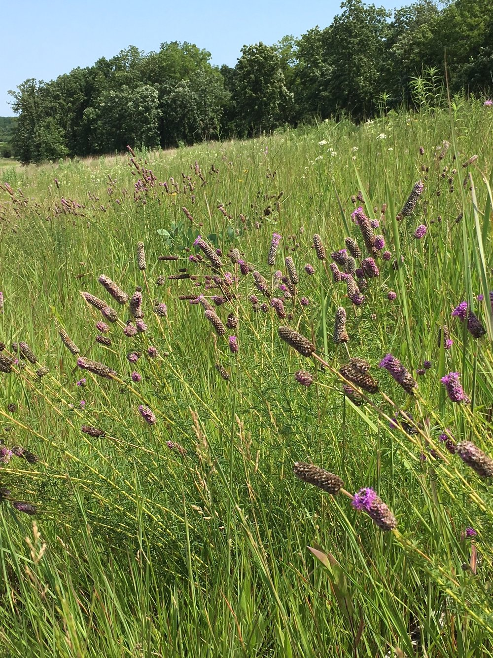 Purple Prairie Clover graces the upper slopes of Spring Creek Prairie.