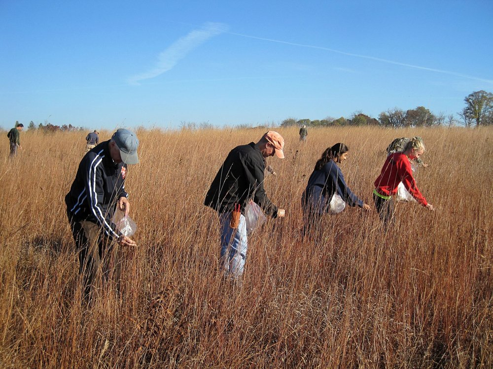 Volunteers hand-collecting seeds from prairie species.