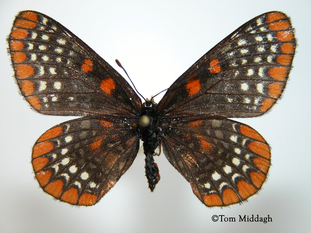 At Grigsby Prairie, we spotted the rare Baltimore Checkerspot ( Euphydryas phaeton ), a species that some fear is slipping towards extinction. Somehow it found Grigsby Prairie.