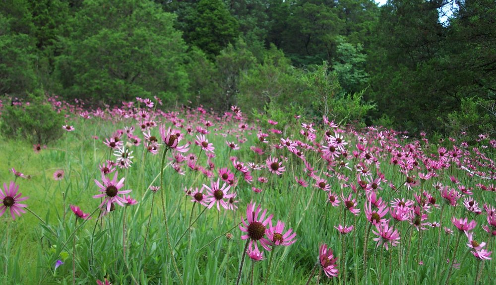 The Tennessee Coneflower (Echinacea tennesseensis) in this limestone glade outside of Nashville is only found in a few counties in Middle Tennessee. It was one of the first plants on the Endangered Species list, but also one of the first removed, and represents a hopeful conservation success story for plant conservation in Tennessee.