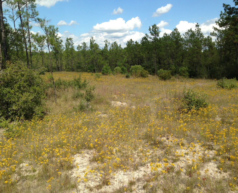 Sandhill Grassland in East Texas
