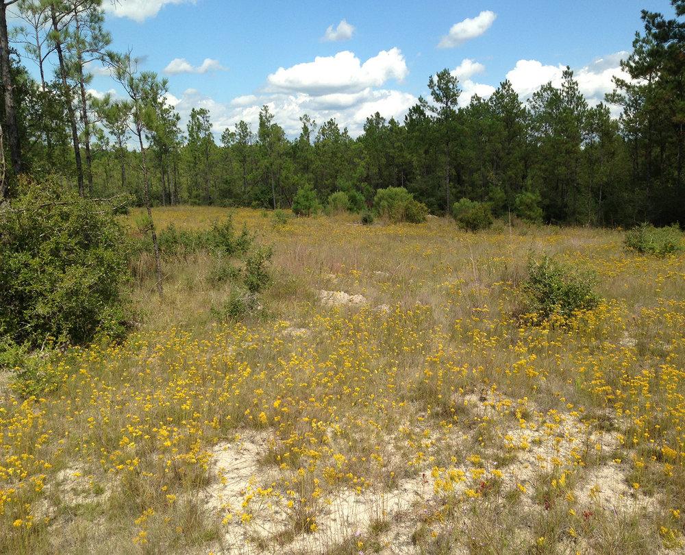 Sandhill Grassland in East Texas