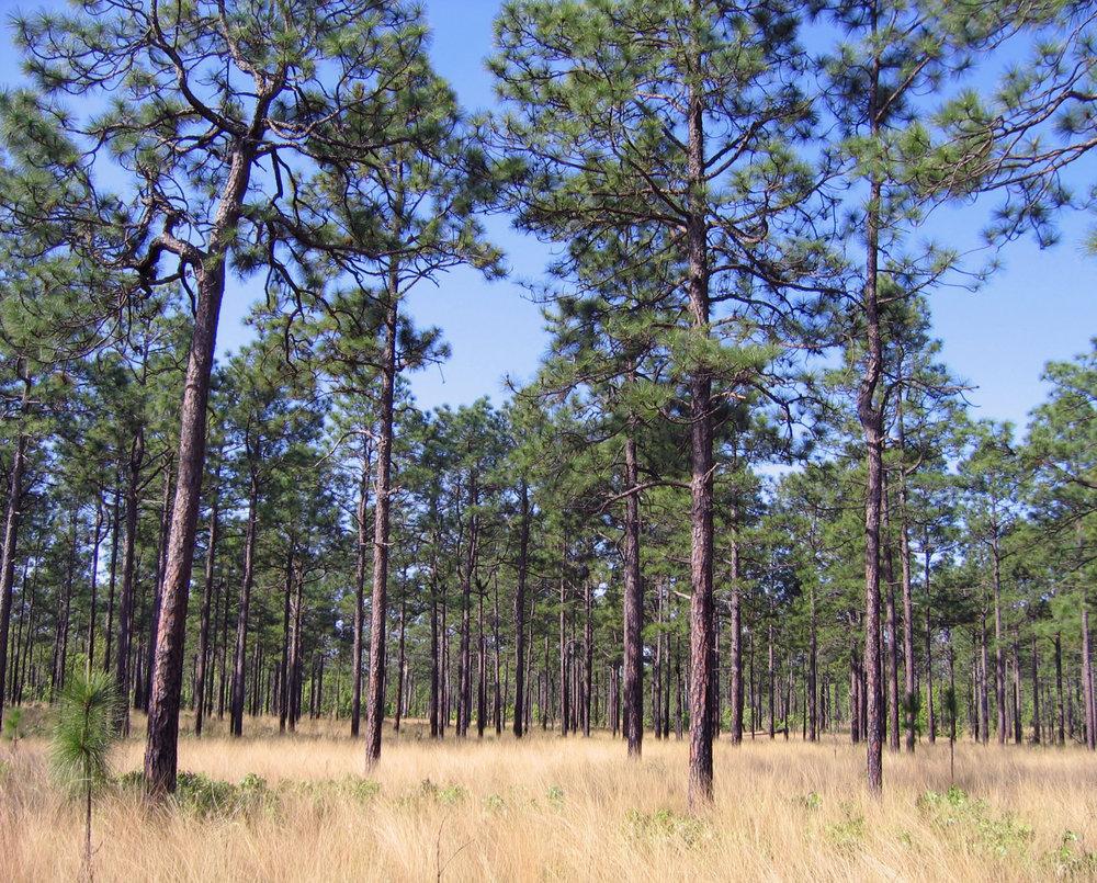 Longleaf Pine Savanna