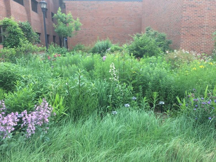 The tallgrass prairie garden at SGI's headquarters, Austin Peay State University, Clarksville, Tennessee.
