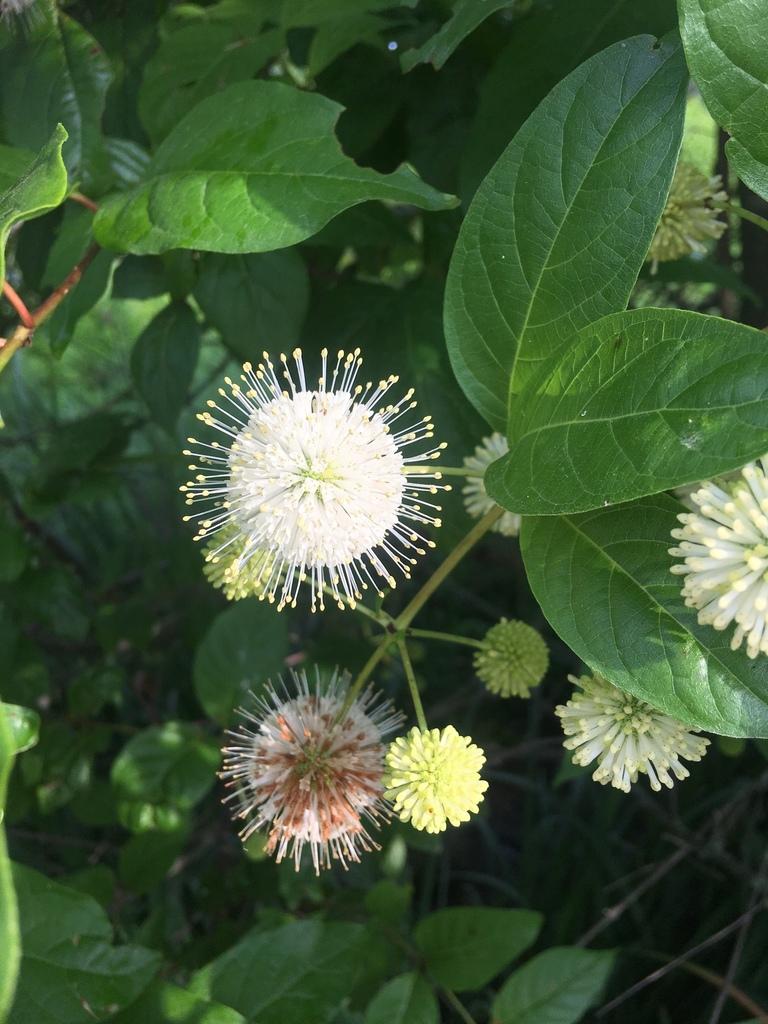 Copy of Cephalanthus occidentalis (Buttonbush)