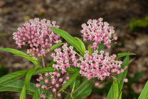 Copy of Asclepias incarnata (Swamp Milkweed)