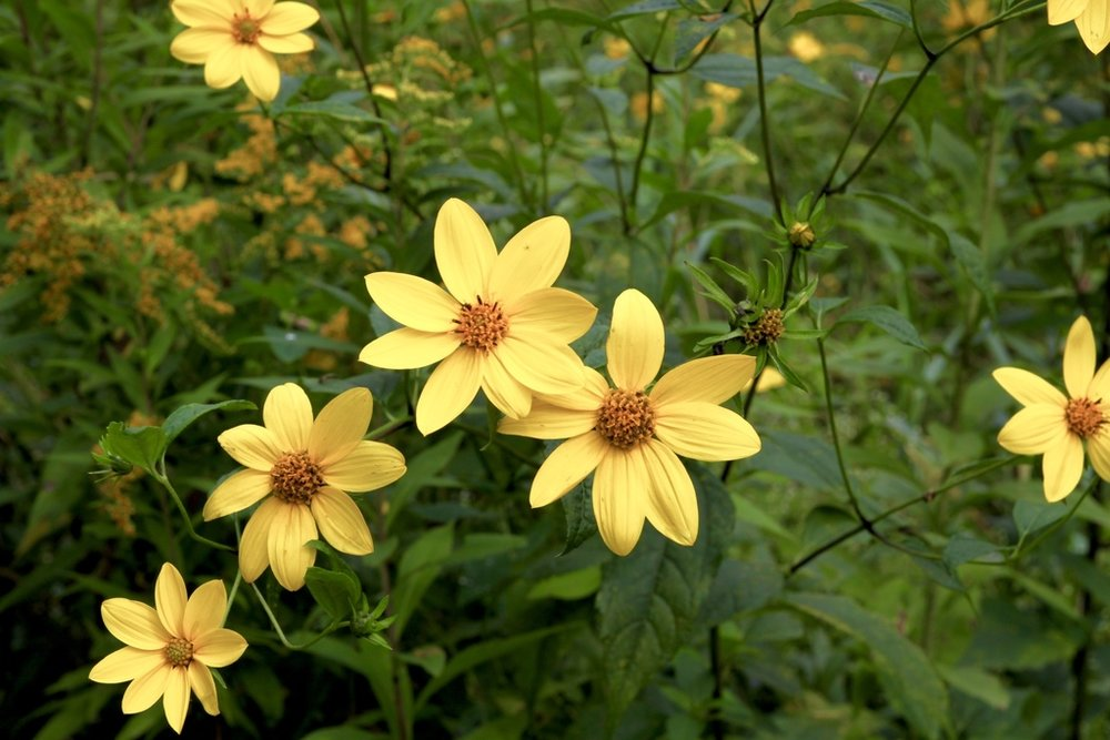 Bidens aristosa (Tickseed Beggar-Ticks)