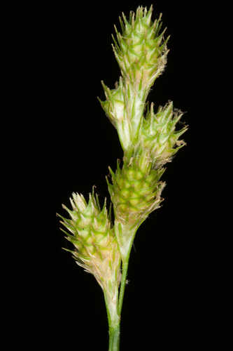 Carex albolutescens (Greenwhite Sedge)