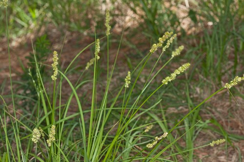 Carex annectens (Yellow-fruited Sedge)