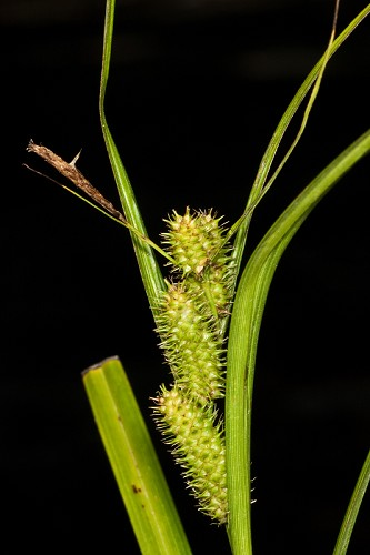 Copy of Carex aureolensis (Golden Cattail Sedge)