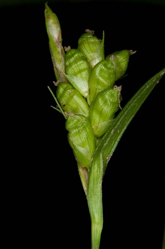 Carex corrugata (Prune-fruit Sedge)
