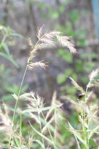 Echinochloa muricata (Rough Cockspur)