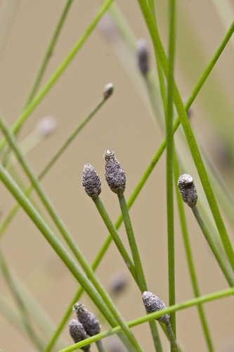 Copy of Eleocharis obtusa (Blunt Spikerush)