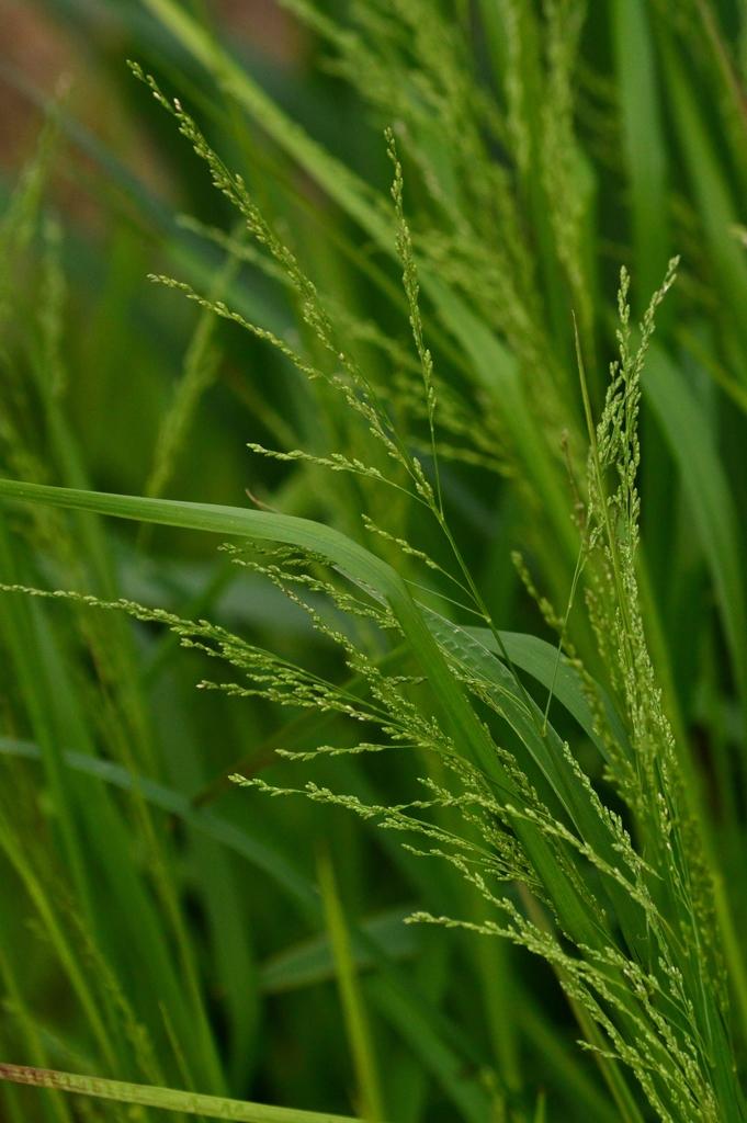 Copy of Glyceria striata (Fowl Mannagrass)