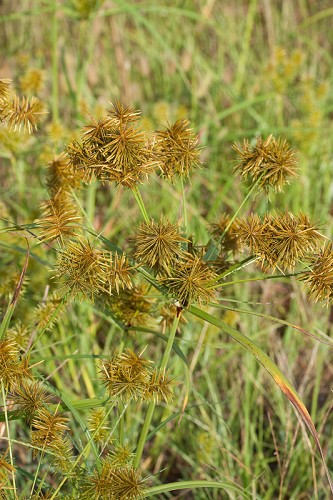 Copy of Cyperus strigosus (Straw-colored Flatsedge)