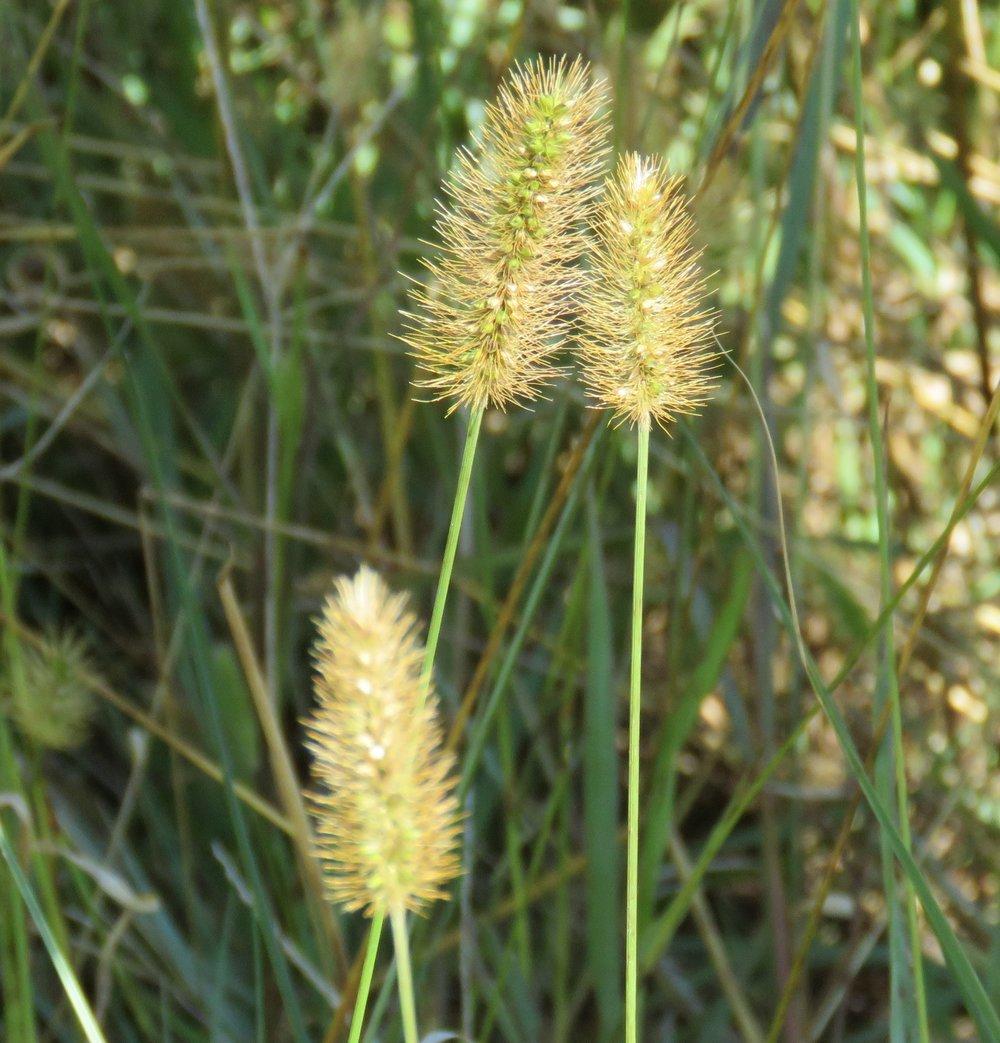 Copy of Setaria parviflora (Marsh Bristlegrass)