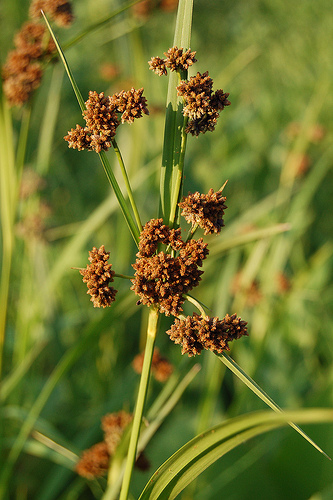 Copy of Scirpus atrovirens (Dark Green Bulrush)