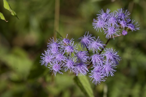 Copy of Conoclinium coelestinum (Blue Mistflower)