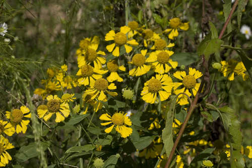 Copy of Helenium autumnale (Fall Sneezeweed)