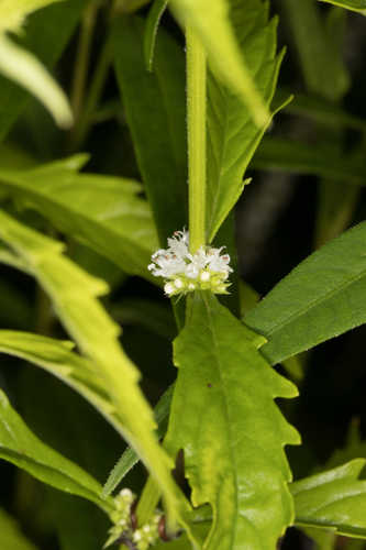 Copy of Lycopus americanus (American Bugleweed)