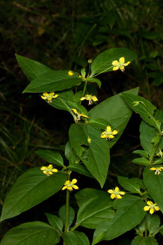 Copy of Lysimachia ciliata (Fringed Loosestrife)