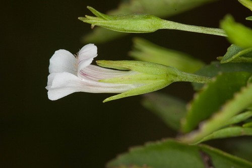 Copy of Mecardonia acuminata (Axil Flower)