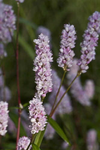Copy of Persicaria pennsylvanica (Pinkweed)