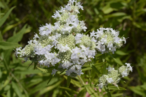 Pycnanthemum virginianum (Virginia Mountain Mint)