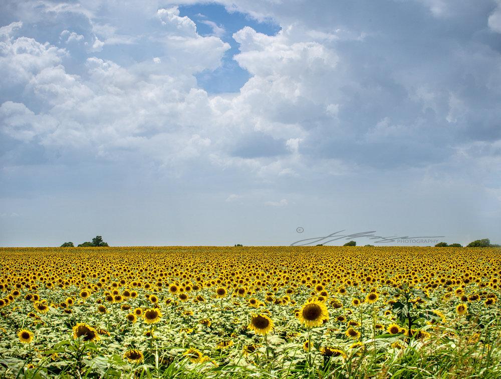 Sunflowers 2018 (4).jpg