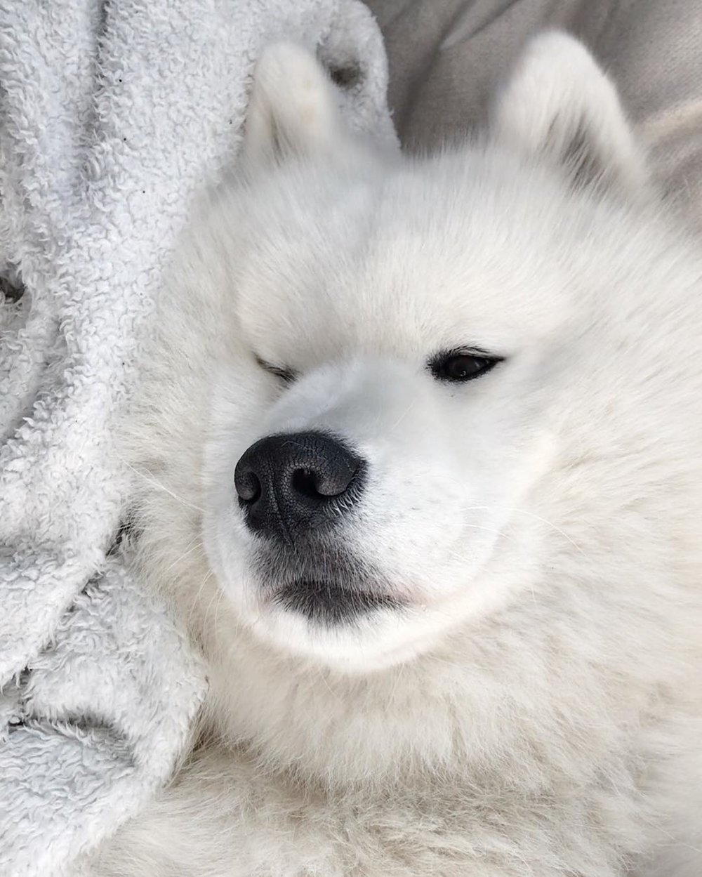 @ghost_the_samoyed (2).jpg