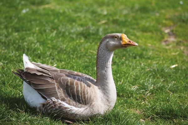 gilbert-goose.jpg