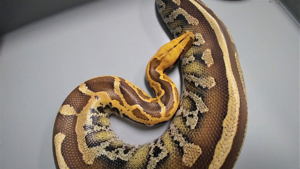 Adult male Genetic Stripe Borneo Short-Tailed Python. Produced from a wild caught Genetic Stripe x TBC Blonde Super Stripe