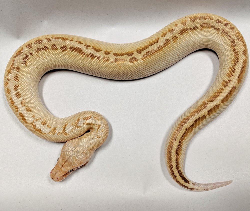 T+ Albino Ivory