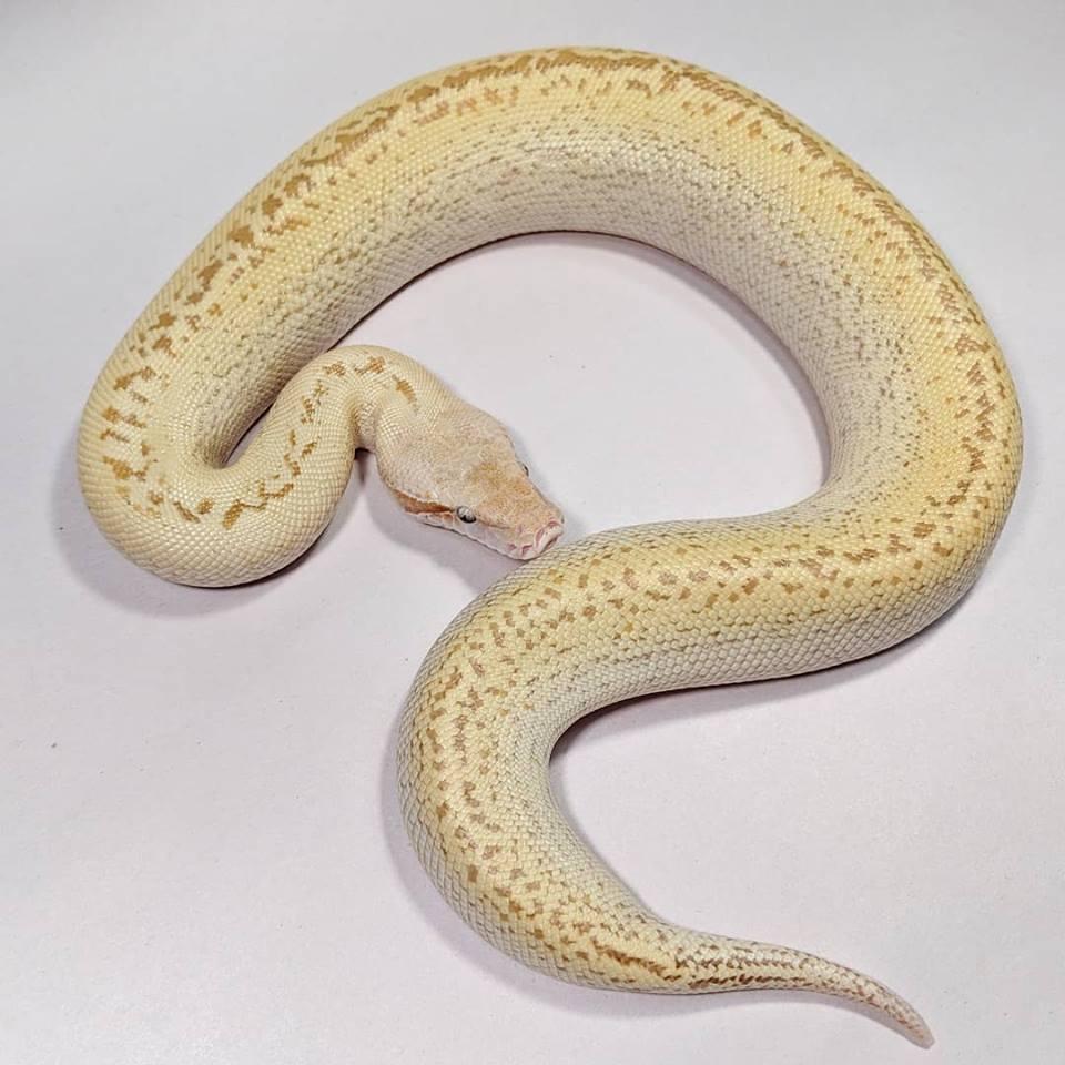 Electrostatic (T+ Albino Ivory Batik)