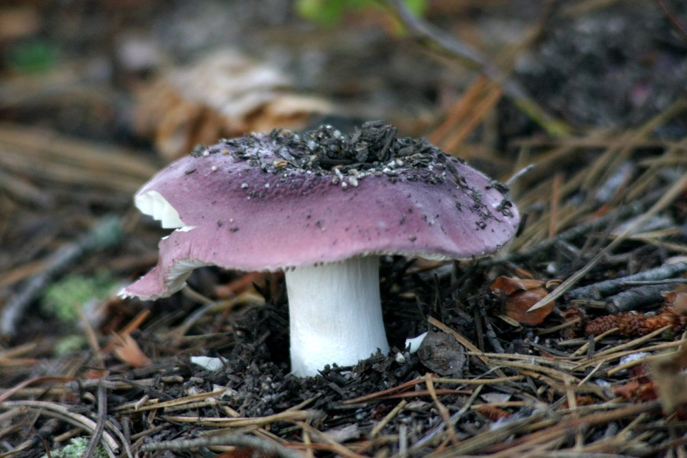 Vinther Nelson Mushroom.jpg