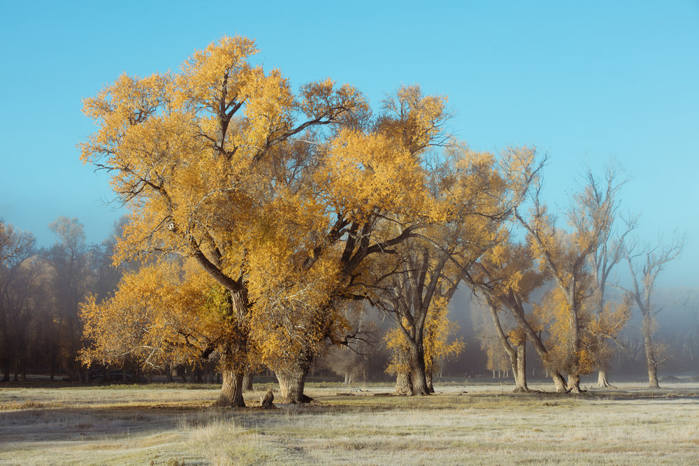 Morning mist amongst the Cottonwood tree's (Gunnision)