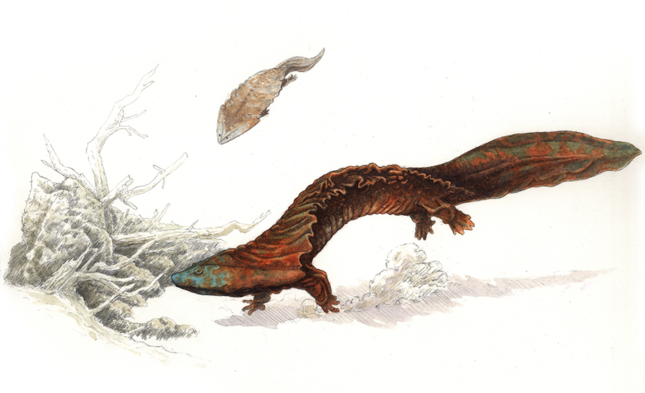 Diplocaulus magnicornis