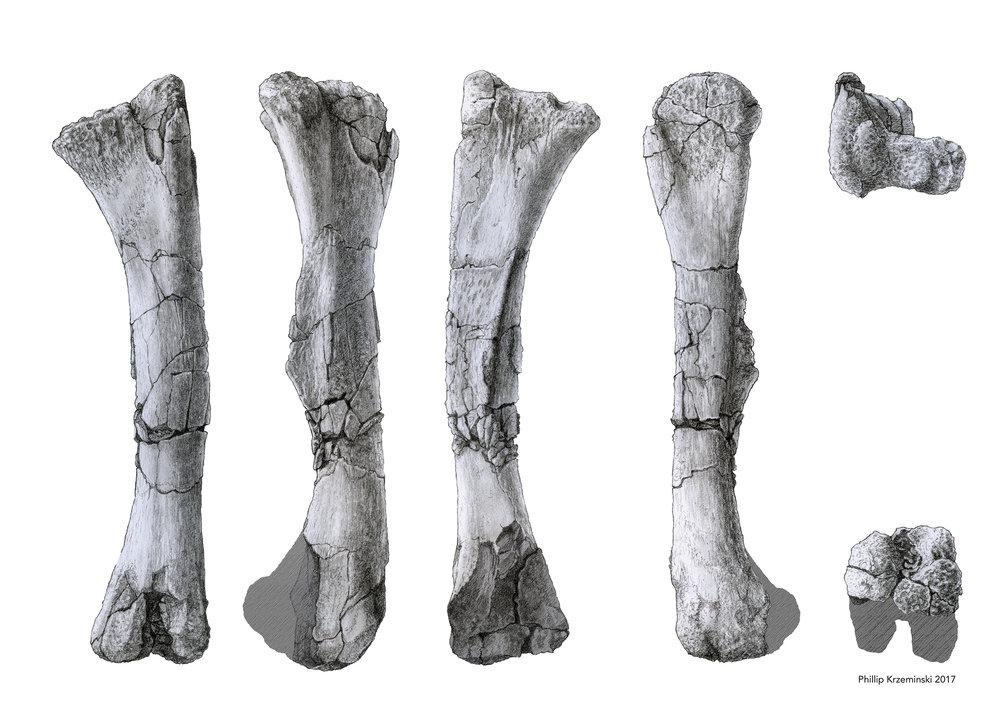 Juvenile Edmontosaurus Femur