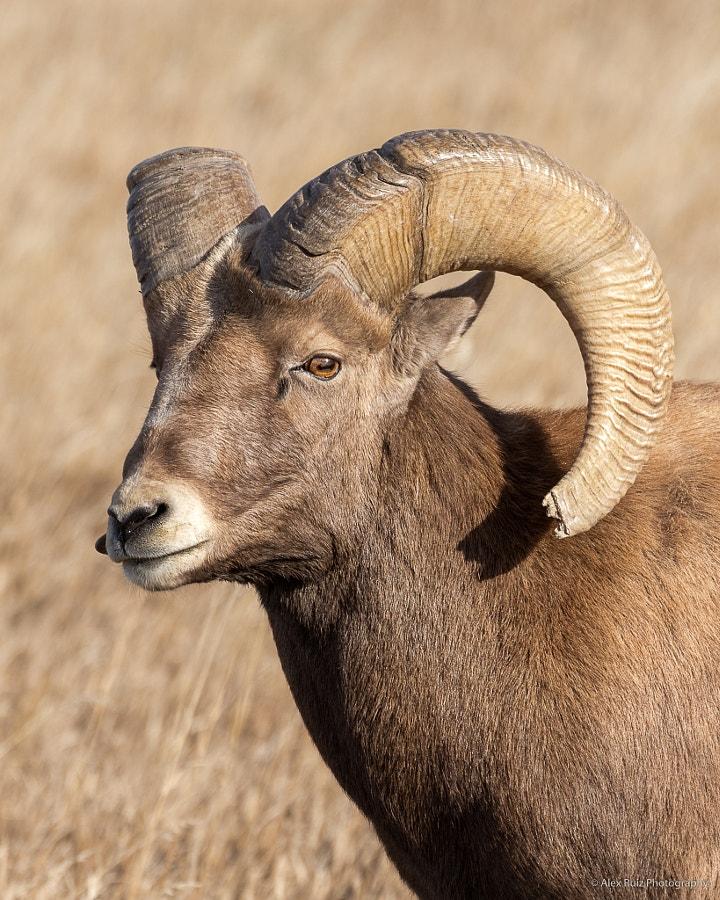 Portrait of Bighorn Ram