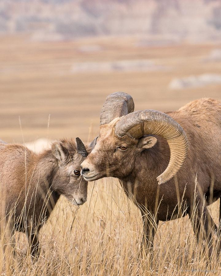 Bighorn Ram and Lamb