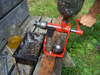 Oil being expressed from black oil sunflower seeds in a Piteba press. Photo by Anita Budhraja