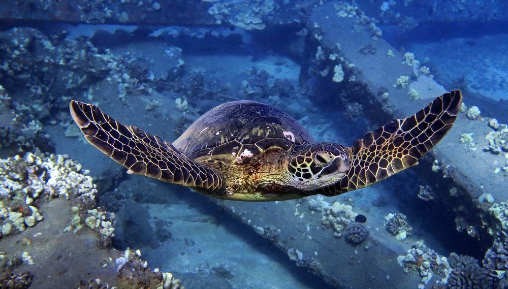 Maui-Reef-Turtle.JPG