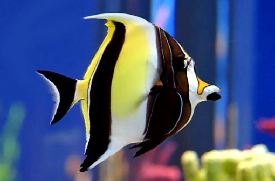 """MOORISH IDOL - This fish is nick-named """"Pirate Fish"""". It has black, yellow, and white stripes and a protruding tubular snout. Is often confused with the butterfly fish, but it has a distinctive black triangular tail that sets it apart from other tropical fish. Often seen in small schools and in shallow reef waters"""