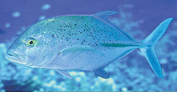 BLUEFIN TREVALLY - This fish starts out small but can get as big as 4 feet long, and 95 pounds. They have blue fins and their body colors are beautiful shades of blue and green with a silver underbelly. They start off as reef fish in small schools, but eventually graduate to deeper waters as they grow in weight and length. If you see them in shallow reefs, they are very young.