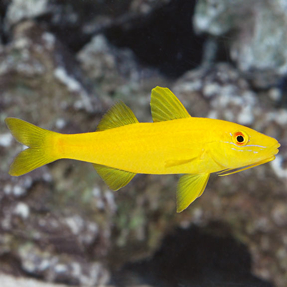 YELLOW GOATFISH - This fish has a bright yellow - hued body with a horizontal red stripe and a triangular black fin. These fish are fast swimmers and are seen mostly in schools. They feed at night and play during the day.