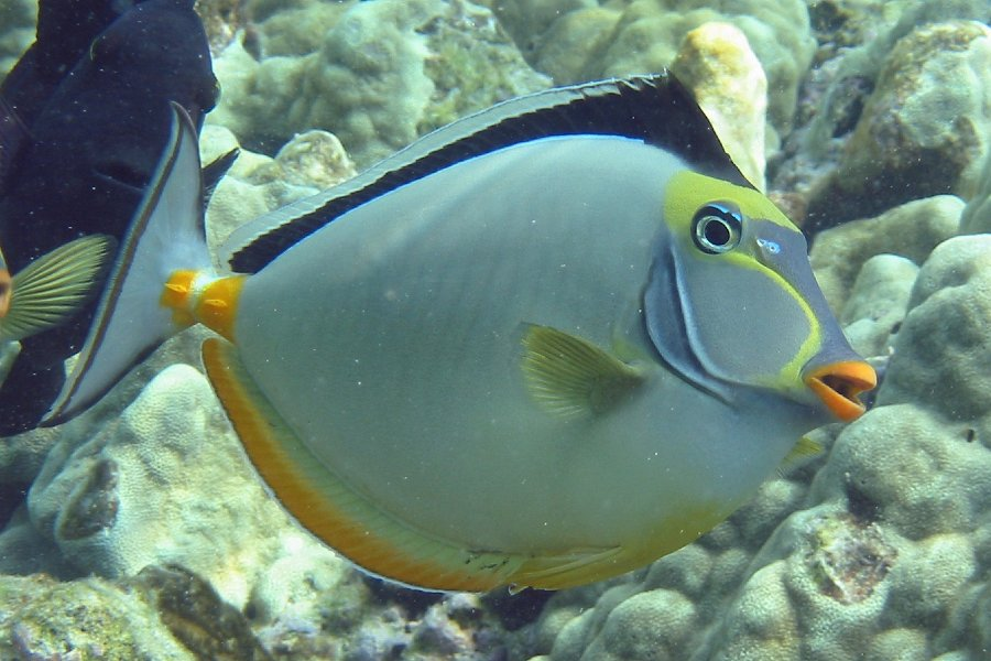 ORANGE SPINE UNICORN - This fish has a grey body with yellow highlights. It has orange lips and a blue face mask. Its body is trimmed in orange, and black and it has a black triangular tail fin. These fish can grow quite large and are seen mostly in small schools in shallow reef waters when they are very young.