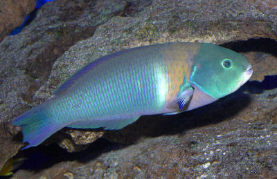 SADDLEBACK WRASSE - These fish are only found in Hawaiian waters. This fish looks like it is flying through the water as it beats its side (pectoral) fins up and down in a quick flying motion. Beautiful Blue head and green body with an orange bar that looks like its wearing a saddle. Can be as long as 11 inches and is found mostly in small schools.