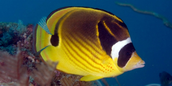 """RACOON BUTTERFLY - Similar to the Moorish Idol, but is primarily Yellow with a black eye area. It has a distinctive white stripe right behind its eye- thus the nick name """"Raccoon"""". Their tails, unlike the Moorish Idol, are yellow. They feed on algae and small invertebrates, and are mostly seen in schools."""