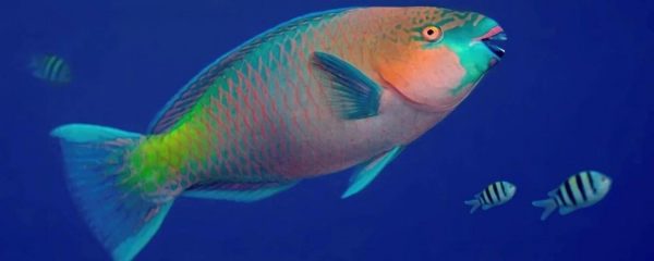PARROTFISH - This fish gets its name because the beautiful blues, greens and oranges on its body resemble the feathers of a parrot, and it has several rows of teeth that form what looks like a parrot's beak. They are often seen in small schools and feed on coral and algae.