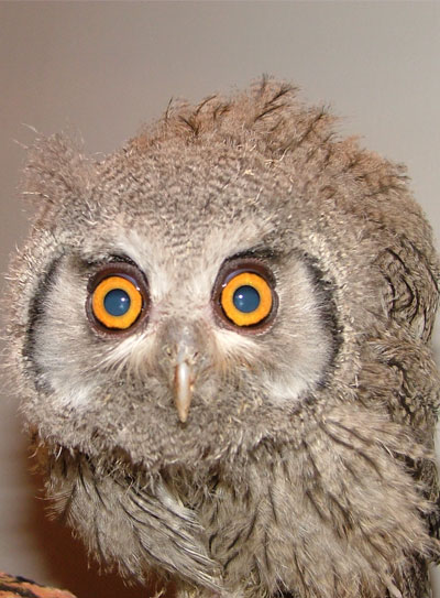 White Faced Scops Owl (at Owl Rescue)